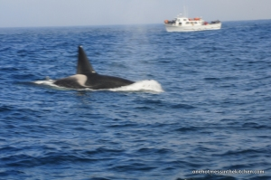 One of three Orca that came out of nowhere. (blurry pic r/t choppy water/surprise whale)