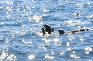 Two sea otters hanging out