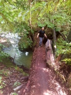 Alternative bridge: Downed Redwood.